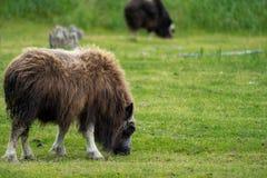 Аляскский вол мускуса пасет в зеленом выгоне есть траву стоковое фото rf