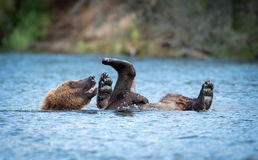 Аляскский играть бурого медведя Стоковые Изображения
