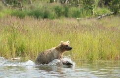 Аляскский новичок бурого медведя бежать в воде Стоковые Изображения