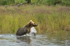 Аляскский новичок бурого медведя бежать в воде Стоковое Изображение