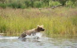 Аляскский новичок бурого медведя бежать в воде Стоковое фото RF