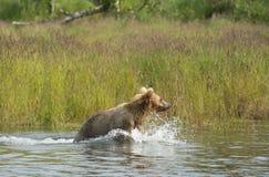 Аляскский новичок бурого медведя бежать в воде Стоковая Фотография RF