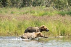 Аляскский новичок бурого медведя бежать в воде Стоковые Фото