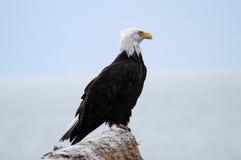 аляскский облыселый орел Стоковые Фото