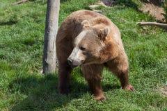Аляскский прибрежный бурый медведь стоковая фотография