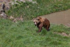 Аляскский прибрежный бурый медведь стоковое фото rf