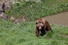 Аляскский прибрежный бурый медведь стоковое изображение rf