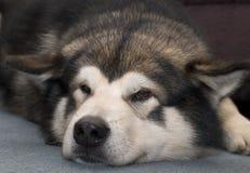 аляскский malamute стоковые изображения