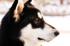 аляскский malamute Стоковое Фото