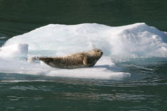 аляскское уплотнение айсберга Стоковые Изображения RF