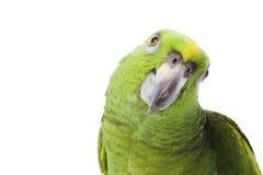 Амазонка naped желтый цвет попыгая Стоковые Изображения RF