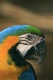 амазонский экзотический попыгай macaw стоковое фото rf