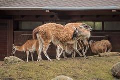 2 лама на зоопарке в Берлине Стоковое Изображение RF