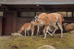2 лама на зоопарке в Берлине Стоковые Изображения