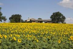 Амбар на поле солнцецветов Стоковое Изображение