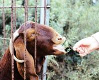 Амбар хода руки женщины подавая животный с травой в зоопарке Стоковая Фотография