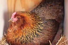 Американа курица на гнезде Стоковое фото RF