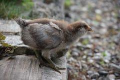 Американа цыпленок стоковые фото