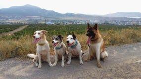 Американец Акита Акиты американца с другими собаками стоковая фотография rf