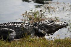 американец аллигатора Стоковое Фото