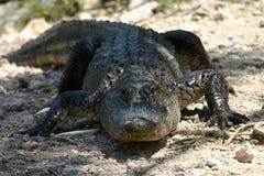 американец аллигатора Стоковое фото RF