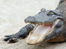 американец аллигатора Стоковая Фотография RF
