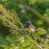 Американец Redstart на ветви акации Стоковые Фотографии RF