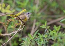Американец Redstart на хворостине Стоковые Фото