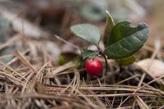 Американец wintergreen Стоковые Изображения