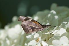Американская бабочка рыльця - carinenta Libytheana Стоковое Изображение