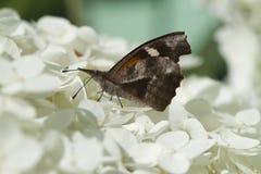 Американская бабочка 2 рыльця - carinenta Libytheana Стоковая Фотография RF