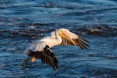 американская белизна пеликана посадки стоковое фото