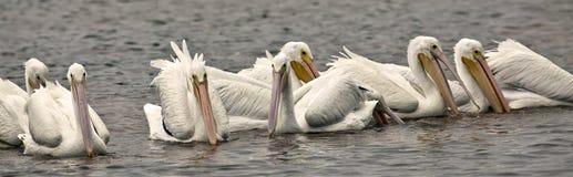 американская белизна пеликана Стоковое Фото