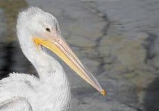 американская белизна пеликана Стоковые Изображения RF