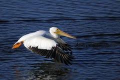 американская белизна пеликана pelecanus erythrorhynchos Стоковое Фото