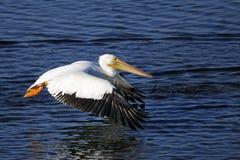 американская белизна пеликана pelecanus erythrorhynchos Стоковая Фотография