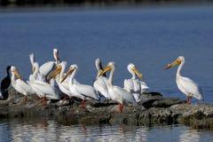 американская белизна пеликана pelecanus erythrorhynchos Стоковые Изображения