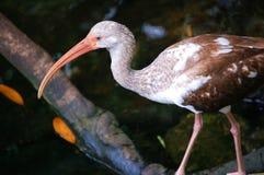 американская белизна ibis неполовозрелая Стоковые Изображения