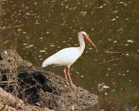 Американская белая птица Ibis Стоковые Изображения