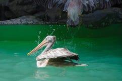 американская белизна пеликана Стоковое Изображение