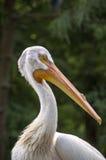 американская белизна пеликана Стоковые Фото
