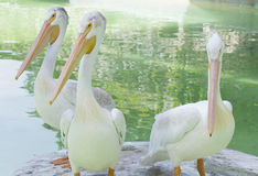 американская белизна пеликана Стоковые Фотографии RF