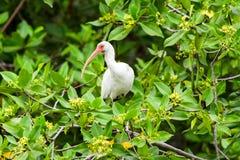 американская белизна ibis Стоковые Фотографии RF