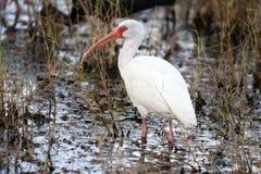 американская белизна ibis Стоковые Фото