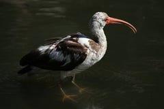 американская белизна ibis Стоковая Фотография