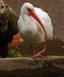 американская белизна ibis Стоковое Фото
