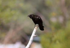 Американская ворона ая на ветви вала Стоковые Изображения RF