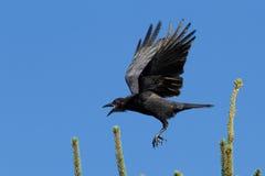 Американская ворона в полете Стоковое Изображение