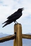 американская ворона стоковые изображения rf