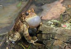американская вызывая мыжская жаба Стоковая Фотография
